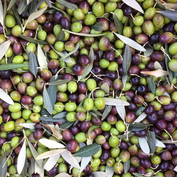 Olives en italie pour huile d'olive