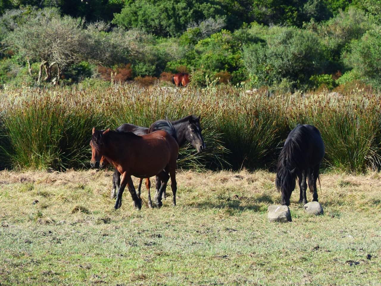 chevaux sauvages sardaigne