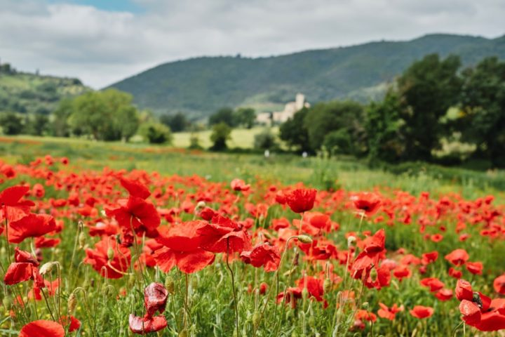 champ coquelicots val orcia